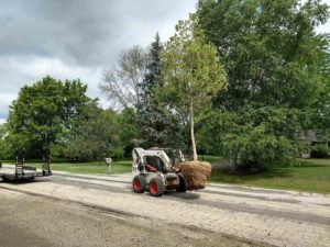 Sycamore for Fast Shade | Extreme Green Lawn and Landscape | Germantown WI